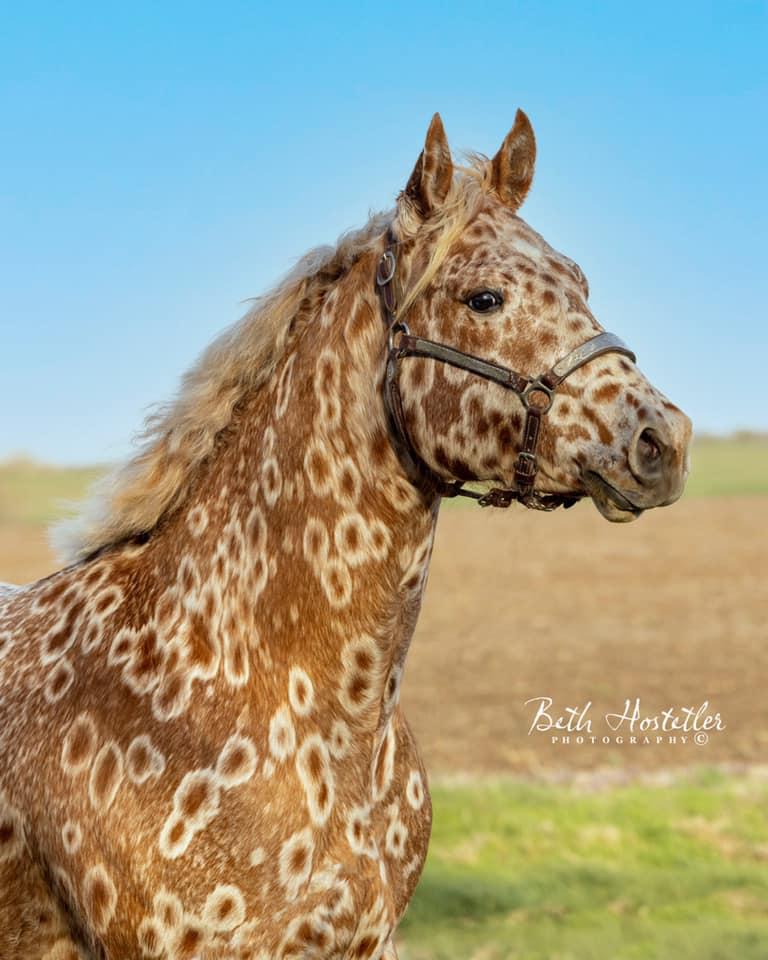Cs Arrogant Playboy - cavalo appaloosa