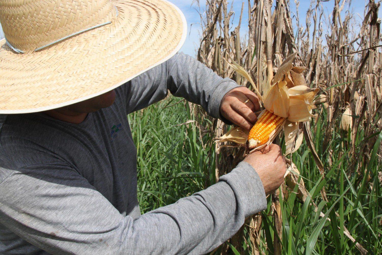 Milho no campo experimental da Embrapa Agrossilvipastoril