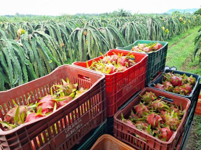 Produção da safra de pitaia cresce 60% em Santa Catarina 3