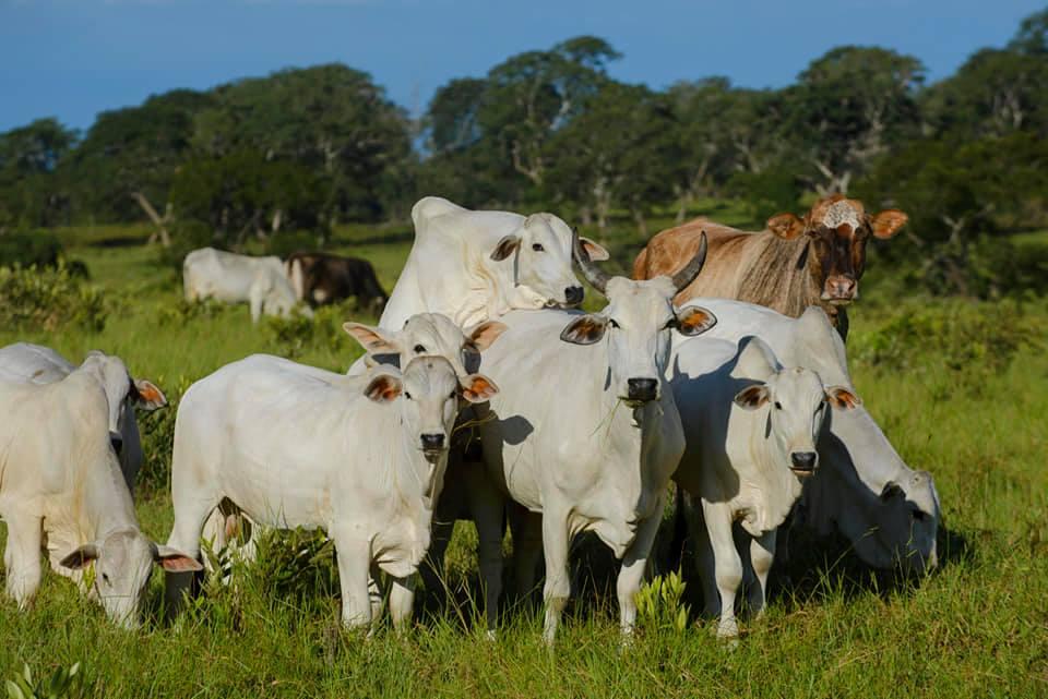 Uma vaca no cio rodeada de bezerros Nelore PO - precocidade sexual