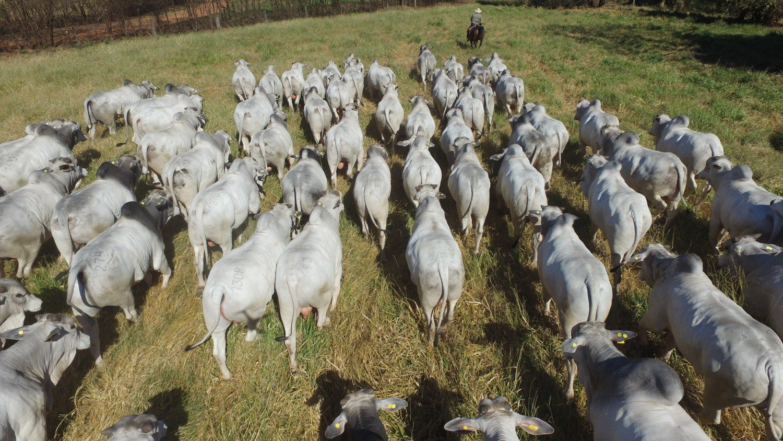 CFM-Megaleilao-CFM-2021-vendera-500-touros-Nelore-CEIP-nascidos-em-2019-foto-divulgacao