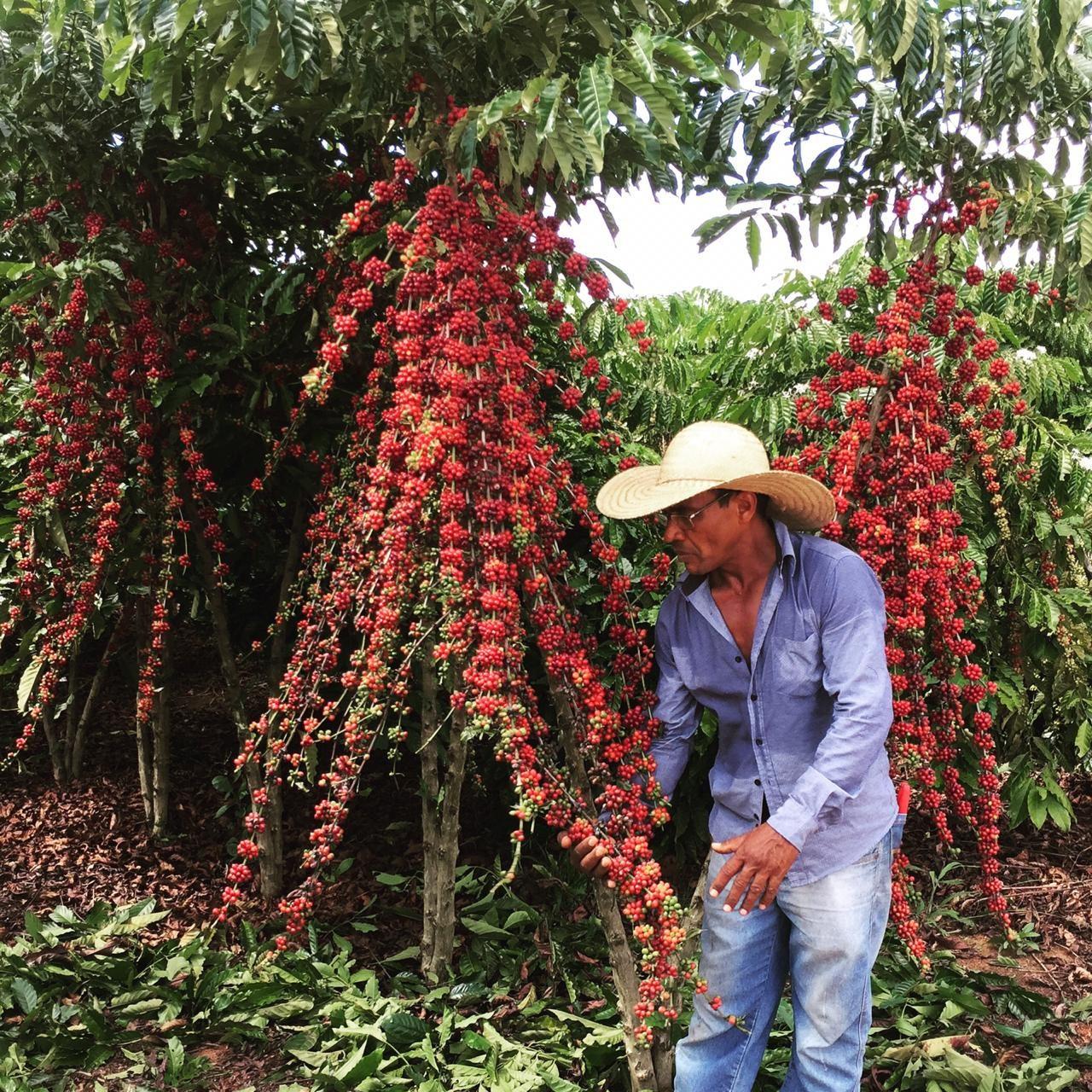 Produtor local ao lado do cafeeiro. Foto- Governo de Rondônia