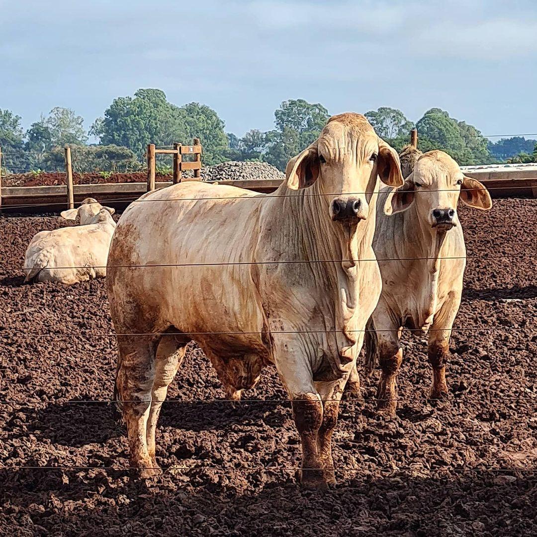 Projeto usa Brahman na produção de carne premium 1Foto: Roberto Barcellos