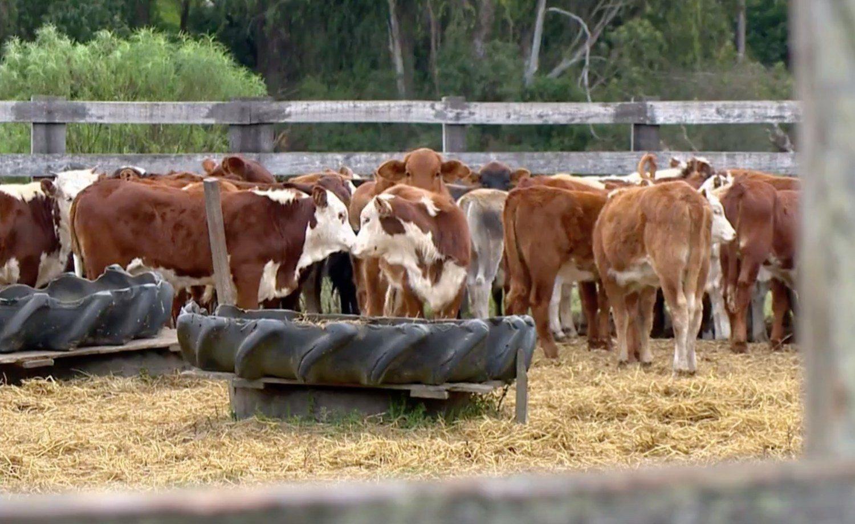 gado roubado no rio grande do sul