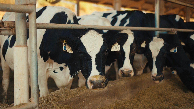 """Monitoramento de vacas de leite foi """"divisor de águas"""" em fazenda"""