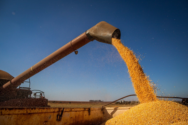 Colheita de milho. Espiga de milho. Grãos. Colheitadeira