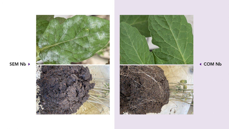 Cultivo de tomates em estufas, sem e com a proteção de Nióbio, as plantas protegidas cresceram as raízes e a folhas estão mais verdes sem a presença de fungos na superfície.