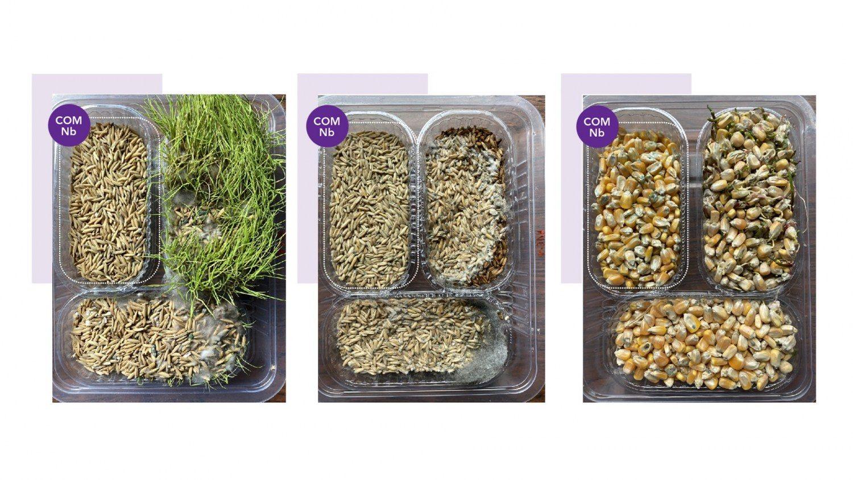 Sementes com composto NbS-12® sem a presença fungos e não tratadas com Nióbio apresentando grande quantidade fungos na superfície.