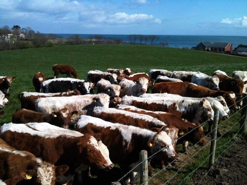 Irish Moiled Cattle Society 1