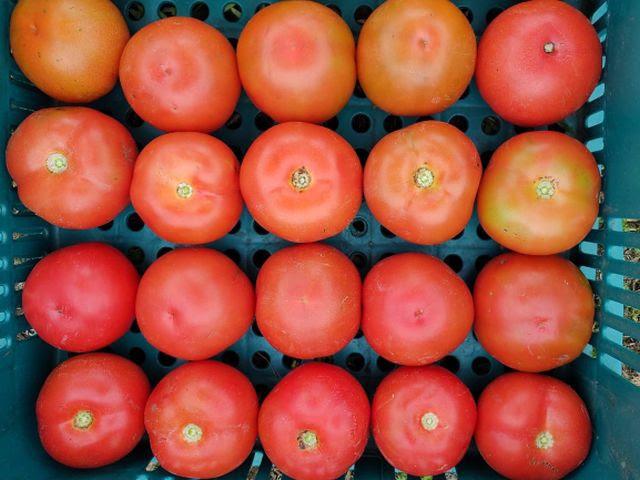 Tomate da Epagri produz até 7kg por planta e é resistente a doenças 1