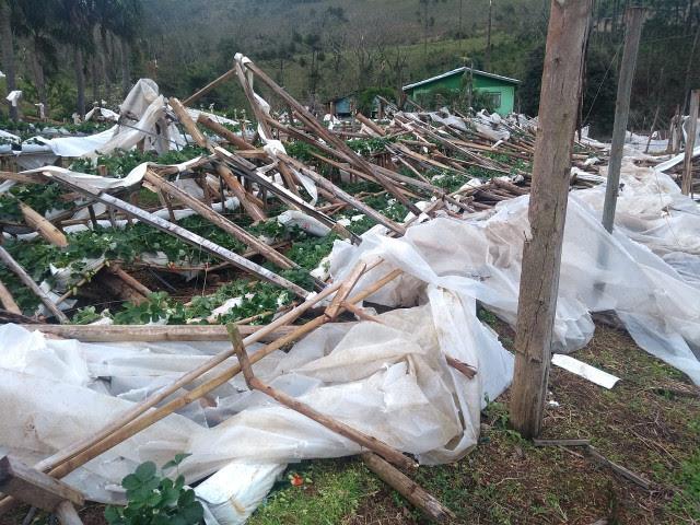 Tornado destruiu a produção de morangos da família