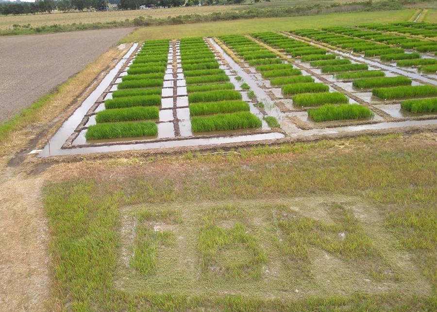 campo de arroz embrapa sul