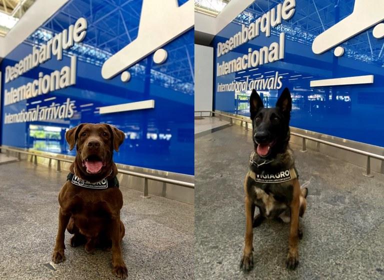 Os cães Léo e Frida já atuam no Aeroporto de Brasília fiscalizando passageiros e bagagens - Fotos: Aeroporto de Brasília