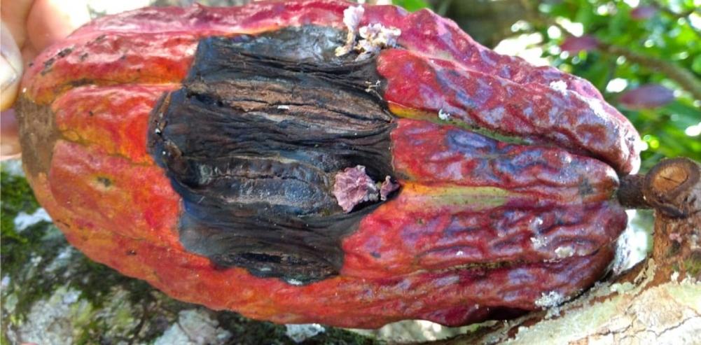 fruto de cacau infectado, com o fungo brotando na área afetada