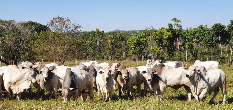 touros jovens nelore da prova de avaliacao - nucleo embrapa cerrados
