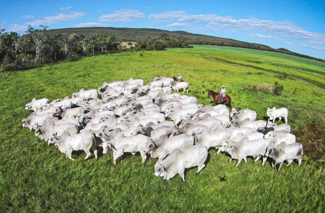 Nelore Grendene - touros nelore no pasto - vaqueiros tocando
