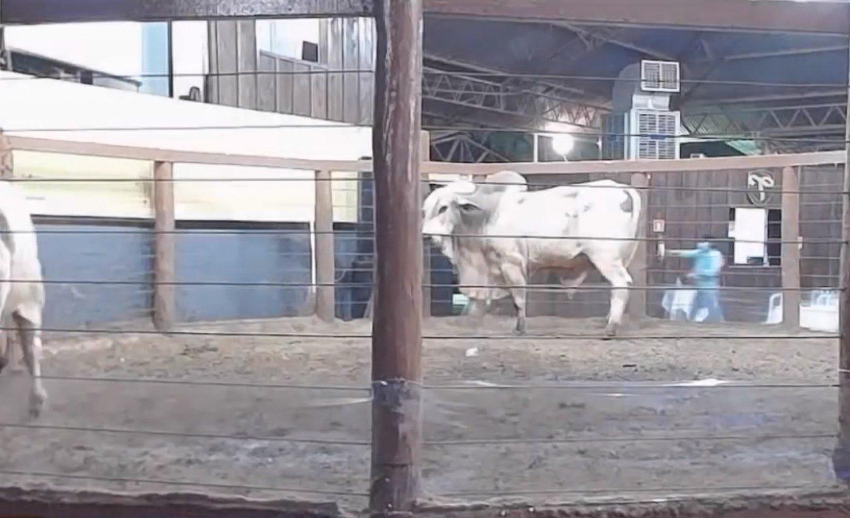 acidente mata touro durante leilao