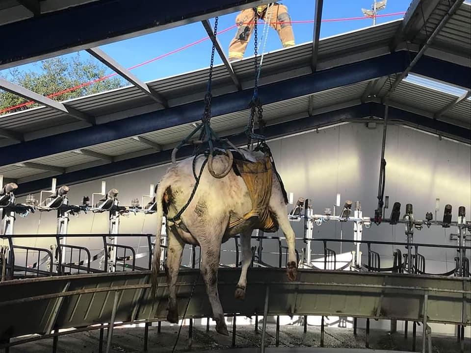 vaca cai em ordenha robotizada e bombeiros sao acionados