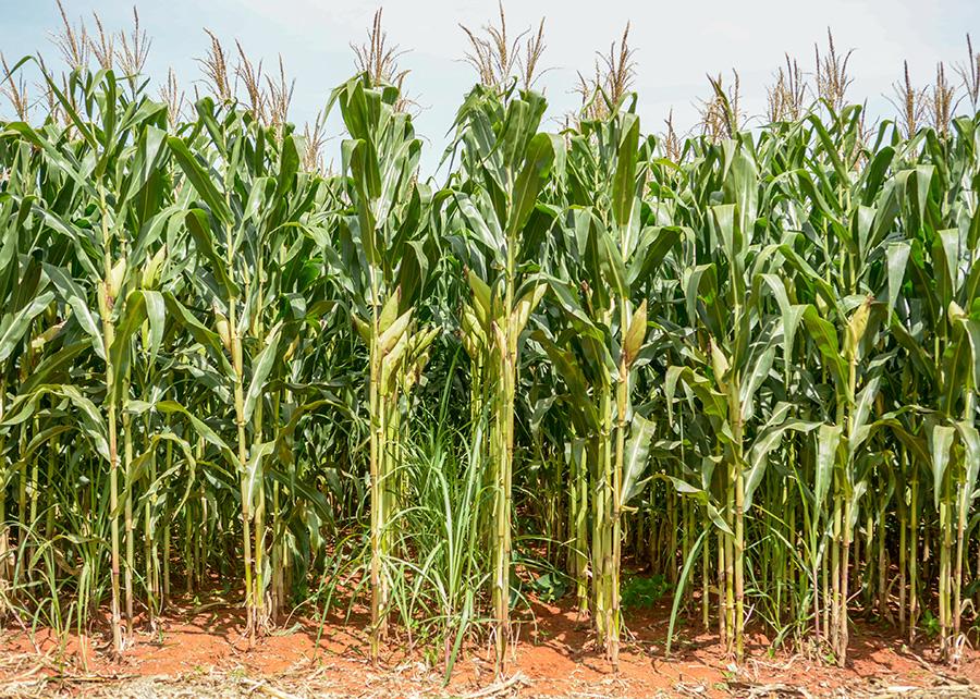 a renovação do canavial por meio do plantio da cana consorciada com milho é promissora e economicamente viável - Photo: Fabiano Bastos