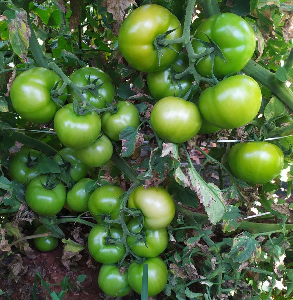 Tomate-Garra--5-